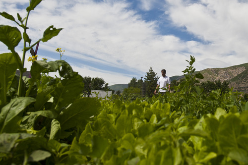Chris Detrick  |  The Salt Lake Tribune Michael Whiteley, of Centerville, walks through the Centerville city garden after watering his wife's vegetables and flowers on their plot of land Friday June 21, 2013.