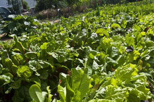 Chris Detrick  |  The Salt Lake Tribune Vegtables grow at the Centerville city garden Friday June 21, 2013.