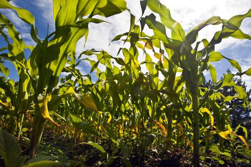 Chris Detrick  |  The Salt Lake Tribune Corn grows at the Centerville city garden.