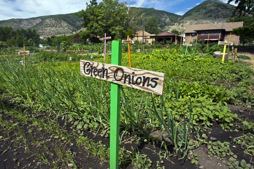 Chris Detrick  |  The Salt Lake Tribune Green onions grow at the Centerville city garden Friday June 21, 2013.