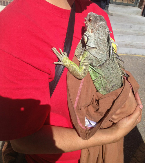 Courtesy photo Salt Lake City firefighters rescued an iguana from a tree after it crawled out an apartment window at 125 S. 300 East on Tuesday morning.