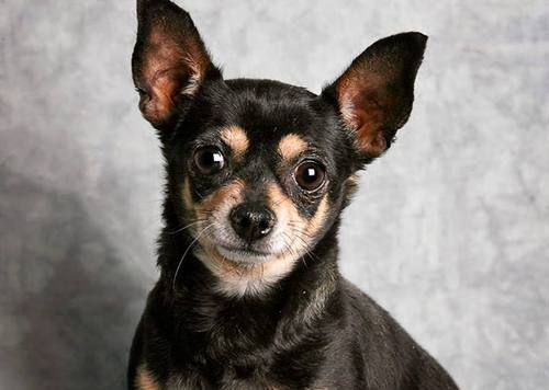Courtesy of Utah Humane Society Bella is a 13-year-old female Chihuahua. She and another Chihuahua, 2-month-old Titus, were taken by two teenage girls from the Utah Humane Society on Wednesday afternoon.
