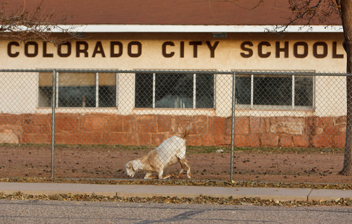 Trent Nelson     The Salt Lake Tribune Livestock penned on the grounds of the Colorado City Unified School building in Colorado City, Arizona,  Thursday November 29, 2012