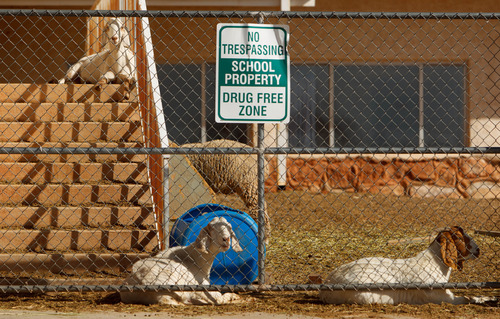 Trent Nelson     The Salt Lake Tribune Livestock penned on the grounds of the Colorado City Unified School building in Colorado City, Arizona,  Saturday, February 16, 2013.