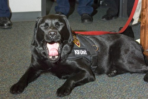 Paul Fraughton  |  The Salt Lake Tribune Daz, the newest member of the Salt Lake City Fire Department relaxes at her swearing-in ceremony at Fire Station 1 in Salt Lake City. Daz is an accelerant-sniffing dog used by firefighters in arson investigations.