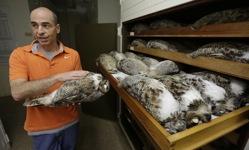 In this  June 12, 2013 photo, Ben Marks, manager of the bird collection at Chicago's Field Museum of Natural History, shows part of the museum's collection of great horned owls. The Field's collection of birds is the fourth-largest in the world with over 500,000 specimens. The museum, one of the world's pre-eminent research centers, is facing budget problems that is forcing it to cut research staff. Field President Richard Lariviere says the museum is poised to recover financially within two years. But some scientists say the cuts in its research operations will be significant. (AP Photo/M. Spencer Green)