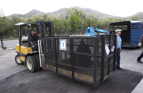 Francisco Kjolseth  |  The Salt Lake Tribune Hogle Zoo crews unload Big Guy, the blind 650-pound sea lion after arriving around 6 a.m. following his flight from California via Fed Ex along with two smaller sea lions. The new Rocky Shores exhibit opens to the public on June 1, and will feature polar bears, sea lions, seals and otters including Big Guy, and Maverick and Rocky two smaller sea lions.