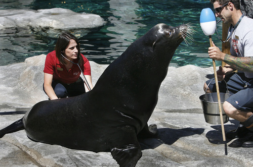 Scott Sommerdorf   |  The Salt Lake Tribune Dr. Erika Crook, left, listens to the heartbeat of Big Guy, a California sea lion, Thursday, June 20, 2013. Helping her is animal keeper James Weinpress, right.