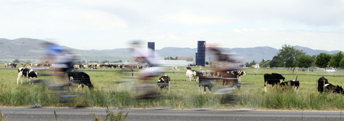 Keith Johnson | The Salt Lake Tribune  Cyclists speed past a herd of cattle outside Richmond, Utah during the MS 150 bike ride through Cache Valley June 29, 2013.