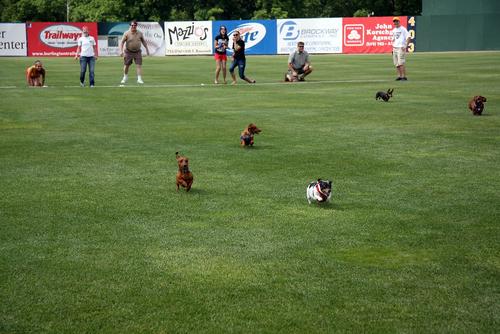 Photo courtesy Burlington Bees  Weiner Dog Race on Community Basket Day at a Burlington Bees game in Burlington, Iowa.