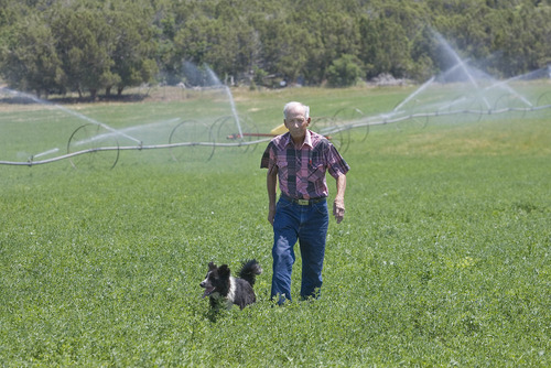 Paul Fraughton  |  The Salt Lake Tribune Mt. Pleasant farmer Ken Palmer, a member of the Sanpete Water Conservancy District, walks through one of his fields of alfalfa with his dog Maggie at his side Wednesday, July 10, 2013
