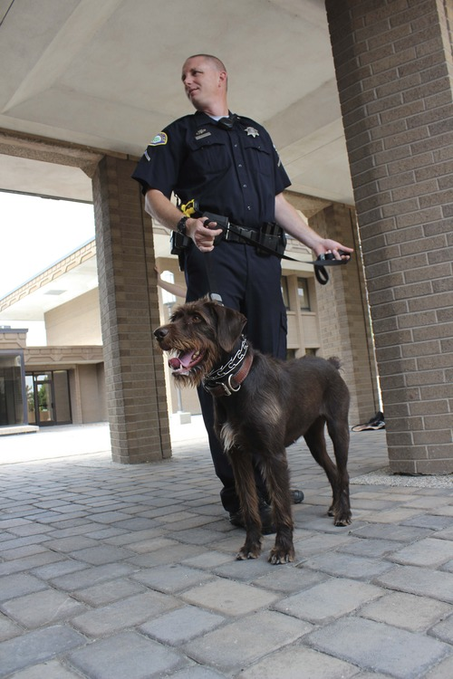 Michael McFall | The Salt Lake Tribune Patrolman Drew Hubbard is partnered with Zima, a German Wirehair Pointer, one of the Provo Police Department's two new bomb-sniffing dogs. The dogs are a first for the city, which just added semi-weekly flights from the municipal airport to Los Angeles.