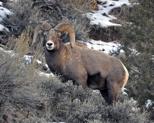Shelly Hatch of Bountiful went looking for bighorn sheep during a day trip to the Flaming Gorge area last December. Looks like she found some; at least this nice ram. Courtesy photo