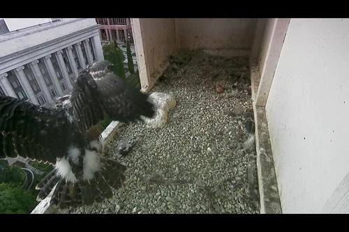 Solo the peregrine falcon testing his wings on June 28, 2013. Photo courtesy Salt Lake City Peregrine Falcons Facebook page.