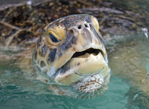 In this photo provided by the Florida Keys News Bureau, OD, a 320-pound green sea turtle lifts his head to breathe in a transition pool at the Florida Keys-based Turtle Hospital Wednesday, July 24, 2013, in Marathon, Fla. Because of an irreparable collapsed lung, the turtle cannot be released into the wild. It is set to be loaded on a FedEx flight to Las Vegas early Thursday, July 25, and live out its life at the The Shark Reef Aquarium at Mandalay Resort and Casino. (AP Photo/Florida Keys News Bureau, Andy Newman)