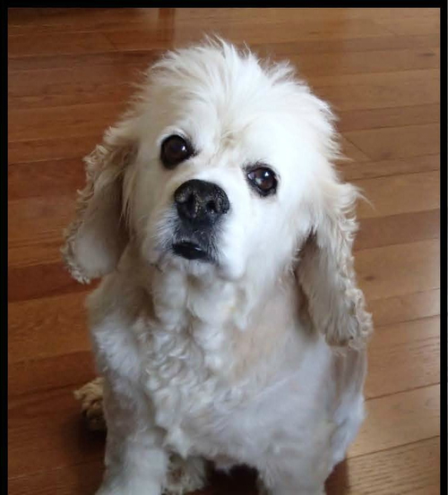Currently in foster care, this 7-year-old cocker spaniel makes fast friends with other dogs and people. Bentley just wants a spot on your couch.
