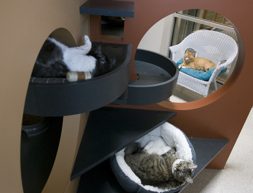 Rick Egan    The Salt Lake Tribune   Cats lounge around their kitty condo in Kitty City at the Utah Humane Society, Monday, July 29, 2013. The Humane Society of Utah has reduced the adoption fee for kittens and cats through August to deal with a large influx of adoptable animals.
