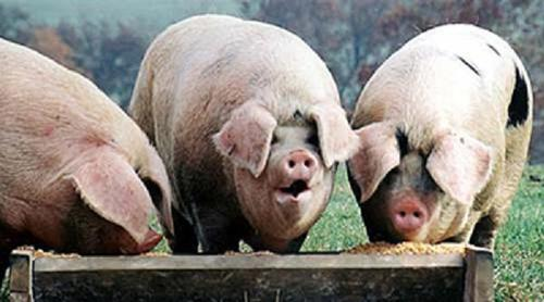 Animal-welfare advocates are launching a campaign called The Someone Project that aims to highlight research depicting pigs, chickens, cows and other farm animals as more intelligent and emotionally complex than commonly believed.