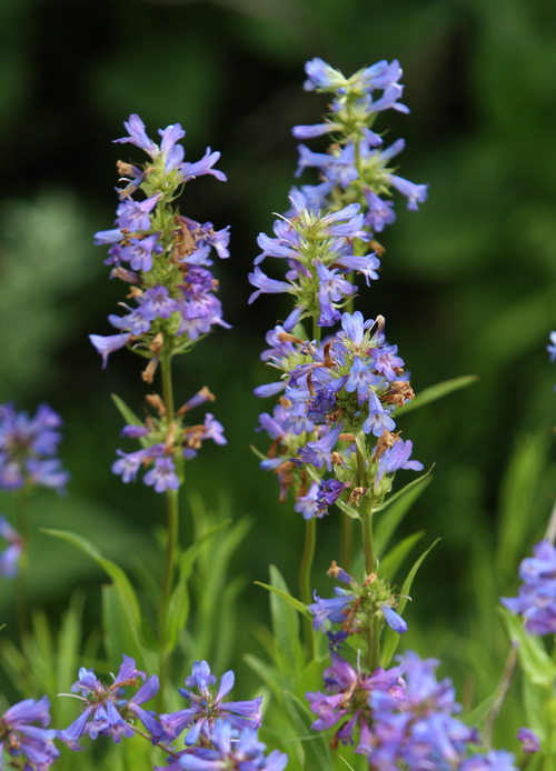 Rick Egan    The Salt Lake Tribune   Wildflowers in the Albion Basin, at Alta Ski Resort, Wednesday, July 17, 2013.