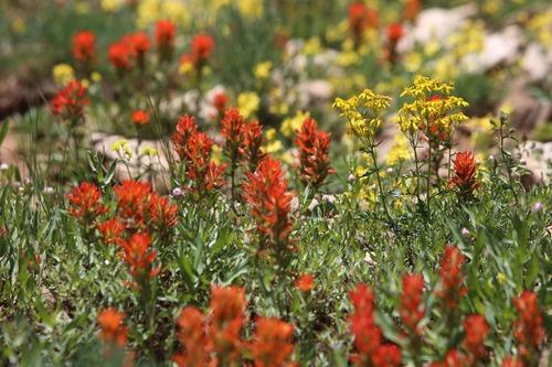 Francisco Kjolseth     The Salt Lake Tribune Large patches of wildflowers take bloom along the slopes of Wasatch County near Sunset Peak.