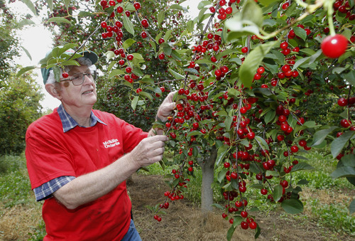 Al Hartmann  |  The Salt Lake Tribune Robert McMullin checks tart cherry trees ready for harvest July 29. For more than five decades he has farmed his family's large fruit orchards in Payson. Because of their size - 1,000 acres -- and diversity (they grow apples, peaches, cherries, pears, pluots and nectarines) the farm continues to flourish where one mediocre crop will be subsidized by another that fares better. This year's sweet cherry crop came in about half of normal due to poor pollination and late spring frosts. But the tart cherry crop -- which takes up half their land -- promises to fare better at about 75 percent of normal.  Along with the weather and pollination, McMullin also worries about being able to provide healthcare benefits for his workers and also how immigration legislation could impact his ability to get the workers he needs.