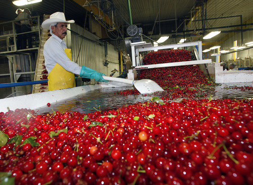 Al Hartmann  |  The Salt Lake Tribune A worker at McMullin Orchards in Payson keeps tart cherries cold in a water bath tank before they are moved by conveyor line into the processing facility where they are sorted, washed, pitted and frozen in 4-gallon pails and shipped off to pie-makers. The orchard workers are working at top speed processing the tart cherry crop this time of year.