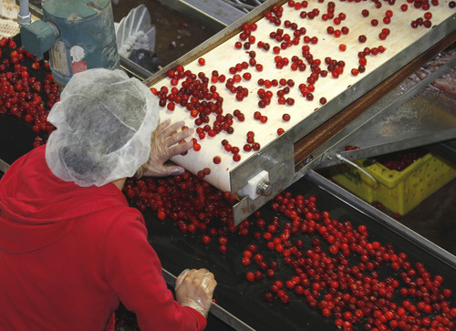 Al Hartmann  |  The Salt Lake Tribune A worker at McMullin Orchards in Payson sorts tart cherries as they move by on a line through the processing facility where they are washed, pitted and frozen in 4-gallon pails and shipped off to pie-makers. The orchard workers are working at top speed processing the tart cherry crop this time of year.
