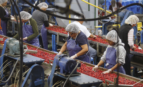 Al Hartmann  |  The Salt Lake Tribune Workers at McMullin Orchards in Payson sort tart cherries as they move by on a line through the processing facility where they are washed, pitted and frozen in 4-gallon pails and shipped off to pie-makers. The orchard workers are working at top speed processing the tart cherry crop this time of year.