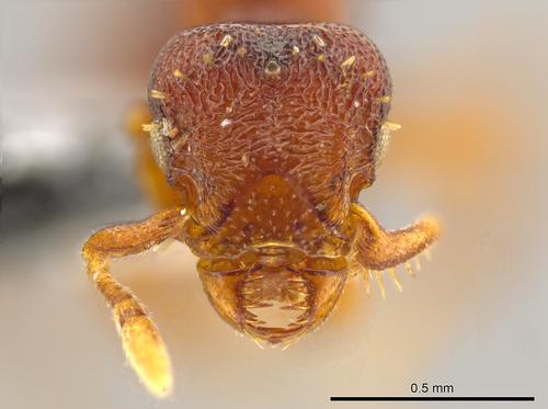 Photo courtesy of John T. Longino, University of Utah    U. entomologist Jack Longino has discovered and identified 33 new ant species, including this Octostruma convallis, which boasts sideways-moving jaws.