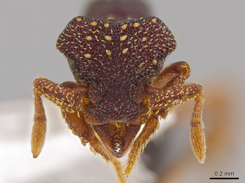 John T. Longino, University of Utah |  This ant species, Eurhopalothrix zipacna, was named after the Mayan crocodile-like Zipacna. Found in the mountains of Guatemala and Honduras, it is among 33 new species discovered by Jack Longino, a biologist at the University of Utah.