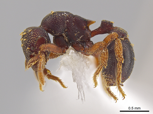John T. Longino, University of Utah |  Side view of the new ant species Eurhopalothrix zipacna. Mounting glue and paper appear beneath the ant, one of 33 new species discovered in Central America by Jack Longino,  an entomologist at the University of Utah.