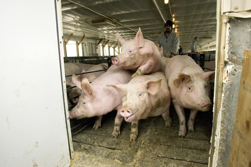 Tribune file photo Circle Four Farms, a massive hog operation in Milford, and 459 other farms operated by the world's largest pork supplier, Smithfield Farms, will phase out cages so small that breeding pigs cannot turn around or move.