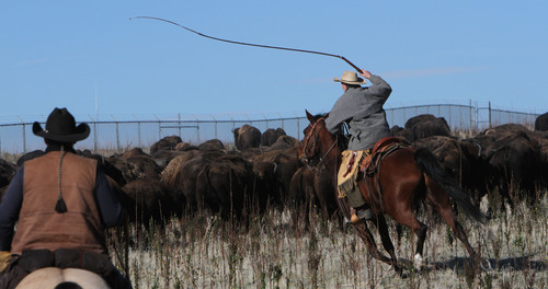 Francisco Kjolseth  |  The Salt Lake Tribune A rider keeps the line moving as they near the corrals on Antelope Island for the 26th annual bison roundup on Friday, October 26, 2012.