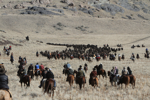 Francisco Kjolseth  |  The Salt Lake Tribune Riders from near and far numbering 430 move a herd of more than 500 bison on Antelope Island during the 26th annual bison roundup on Friday, October 26, 2012.