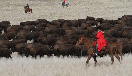 Francisco Kjolseth  |  The Salt Lake Tribune Riders from near and far numbering 430 move a herd of more than 500 bison on Antelope Island during the 26th annual bison roundup on Friday, Oct. 26, 2012.