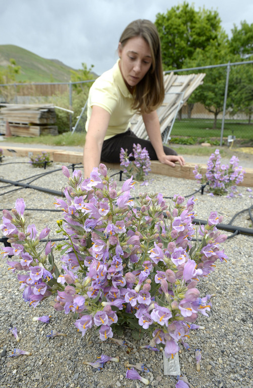 Al Hartmann     The Salt Lake Tribune Rita Reisor, Conservation Director for Red Butte Garden examines one of several Graham's Beardtongue plants that garden botanists have transplanted in their conservation trial bed.  They have taken hold and are now producing some seeds.   The rare desert flower only grows on oil shale outcrops and is proposed for listing under the Endangered Species Act.