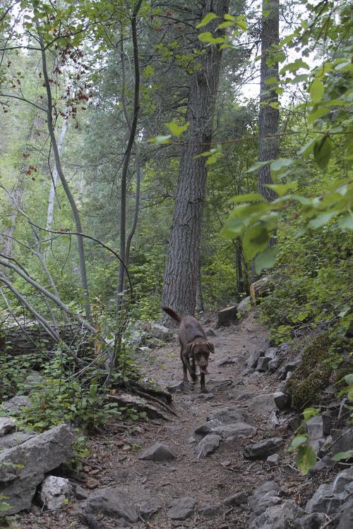 Jessica Miller | The Salt Lake Tribune Luigi the dog hiking Icebox Canyon trail in Ogden. (July 30, 2013).