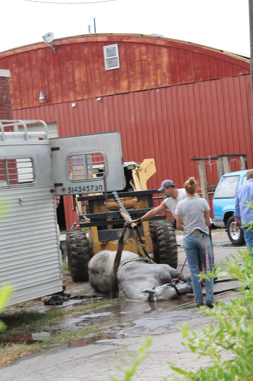 Handlers attempt to move a sick carriage horse using heavy equipment. (Photo courtesy of Jeremy Beckham)