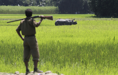 An Indian forest guard looks at an one-horned rhinoceros in a paddy field at Rajbhoral village in Sonitpur district of Assam state, India, Tuesday, Aug. 20, 2013. The Rhino was strayed out of the nearby Kaziranga National Park as the villagers try to chase it back to the sanctuary. Assam is home for the world's largest concentration of rhinos. (AP Photo/Anupam Nath)