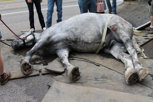 Courtesy of Jeremy Beckham Jerry, a 13-year-old horse, lies in a downtown street after collapsing on Saturday.