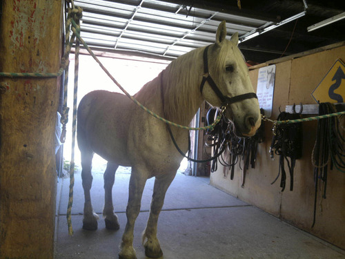 Annette Overson | Courtesy A veterinarian visited Jerry, a 13-year-old carriage horse, on Wednesday morning, four days after he suddenly collapsed from colic at State Street and South Temple. He is showing good signs and recovering, according to the carriage company.