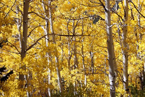 Francisco Kjolseth  |  The Salt Lake Tribune Aspen trees burst into color near Guardsmans Pass as the fall transformation begins to take shape on Thursday, September 29, 2011.
