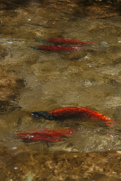 Kokanee salmon in Sheep Creek, a tributary to Flaming Gorge Reservoir, prepare for the spawn in the fall of 2007. Steve Griffin photo  Steve Griffin/The Salt Lake Tribune 9/20/07
