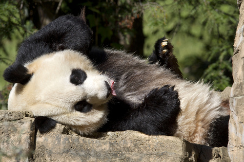 FILE - In this Oct. 11, 2012, file photo Mei Xiang, a giant female panda, rests at the National Zoo in Washington. Mei Xiang gave birth to a cub at the Smithsonian's National Zoo 5:32 p.m. EDT on Friday, Aug. 23, 2013. Zoo keepers heard the cub vocalize and glimpsed the cub for the first time briefly immediately after the birth. Mei Xiang picked the cub up immediately and began cradling and caring for it.(AP Photo/Jacquelyn Martin, File)