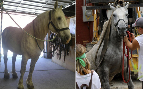 Courtesy photos The photo on the left was sent out Wednesday, Aug. 21 by Carriage for Hire. The photo on the right was taken by Jeremy Beckham on Aug. 17. Both photos purportedly showed Jerry the carriage horse, who collapsed in downtown Salt Lake City on Saturday, Aug. 17 from a sudden bout of colic. Representatives from the People for the Ethical Treatment of Animals say the photos depict two different horses, as evidenced by their coat coloration and the distinctive white markings on the lip of the horse on the left, which is not present on the horse on the right.