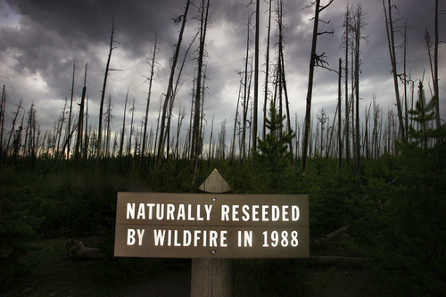 A sign near Cignet Lakes states that the area was burned in the 1988 fires, and that the trees that now grow there are natural growth as a result of those fires. We take a look at Yellowstone National Park 20 years after the huge wildfires that raged through the park's forests. (Scott Sommerdorf/The Salt Lake Tribune)