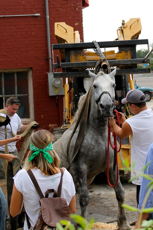 Courtesy of Jeremy Beckham Jerry the carriage horse is hoisted on Aug. 17 at a Salt Lake City stable after collapsing due to colic. Members of the People for the Ethical Treatment for Animals say the photo sent out by Jerry's owners at Carriages for Hire was not of Jerry, as evidenced by the lack of a distinctive white marking on his upper lip, known as a snip, which the horse in the photo sent out did have.