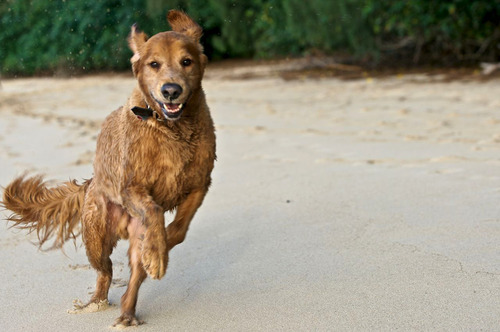 In this 2010 photo provided by Explore.org, philanthropist Charlie Annenberg's golden retriever, Lucky, runs at the Pipeline Beach in Ehukai Beach Park, Haleiwa, Hawaii. For 16 years, Lucky has been his sidekick, soul mate and inspiration, said Annenberg. In 2010, Annenberg started Dog Bless You, a journal of their travels as told by Lucky but written by Annenberg. (AP Photo/Explore.org)