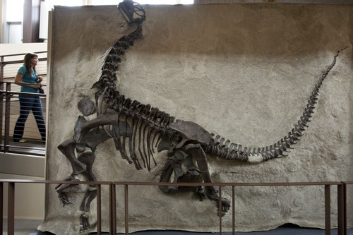 Chris Detrick  |  The Salt Lake Tribune The skeleton of a young Camarasaurus is displayed at the Grand Opening Celebration of the Quarry Exhibit Hall at Dinosaur National Monument Tuesday October 4, 2011. The old Quarry Exhibit Hall was closed in July 2006 due to safety hazards. The Carnegie Quarry contains nearly 1,500 fossils.  In addition to the fossil wall, the facility features exhibits about dinosaurs and other life from the Jurassic period.