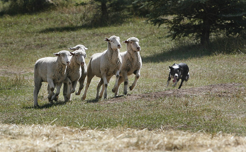 Scott Sommerdorf  |  The Salt Lake Tribune Tom Wilson's dog Roy works with a group of sheep at the Soldier Hollow Sheepdog Competition at Soldier Hollow on Saturday.